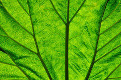 Foliate. Texture of the green leaf from a short distance Stock Images