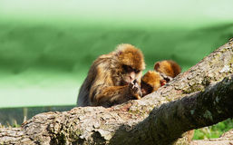Folie de singe Photo stock