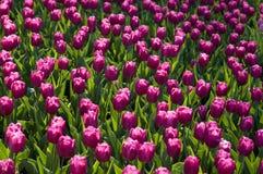 Folie de tulipe photographie stock