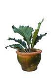 Folige anthurium Royalty Free Stock Images