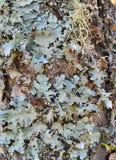 Foliose лишайник Стоковые Фото