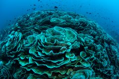 Foliose Koralen die in Indonesië bleken royalty-vrije stock foto