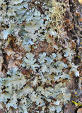 Foliose lichen Stock Photos