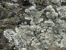 Foliose lichen squamulose Royalty Free Stock Photos