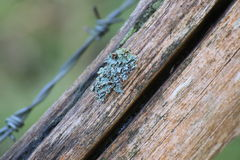 Foliose Lichen On Wood Stock Images