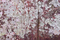 Foliose lichens on cracks snadstone rock texture Stock Images