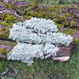 Foliose liszaj genus Parmelia na barkentynie otaczającej mech zdjęcie royalty free