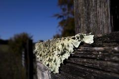 Foliose liszaj na rolnym fechtunku fotografia royalty free