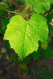 Folium dell'uva immagini stock libere da diritti
