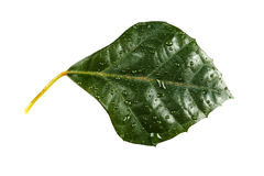 Foliumanlagen-Cissuntem-rhombifolia Lizenzfreies Stockbild