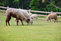 Folk av nötkreatur för lamaalpacasLatinamerika som matar i lantgårdgras Arkivfoton