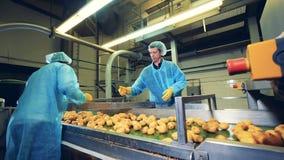 Folk i enhetlig hacka och att klippa gula potatisar på en transportör lager videofilmer
