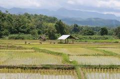 Folk i grön risfält Arkivbilder