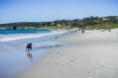Folk och hundkapplöpning som har gyckel på stranden, Carmel-vid--hav, Monterey halvö, Kalifornien Royaltyfri Fotografi