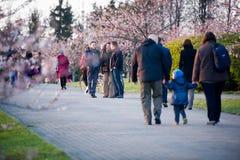 Folk som går, genom att frodas Sakura Royaltyfri Bild