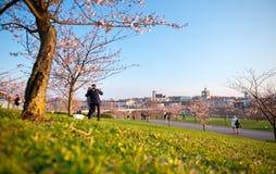 Folk som går, genom att frodas Sakura Royaltyfria Foton