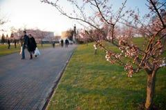 Folk som går, genom att frodas Sakura Royaltyfri Fotografi