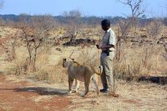 Folk som går med lejon Royaltyfria Foton
