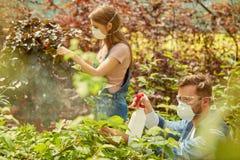 Folk som gödslar växter i växthus Arkivfoto