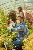 Folk som gödslar växter i växthus Arkivbilder