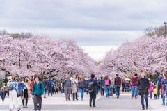 Folk som håller ögonen på Cherry Blossom och kopplar av i Sakura Festival a Fotografering för Bildbyråer