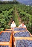 Folk som skördar druvan på en vingård på Mendrisio Arkivbild