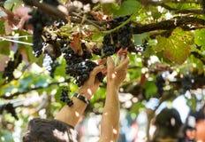 Folk som skördar druvor i vingården av Madeiran Vin Företag på madeiravinfestivalen i Estreito de Camara de Lobos, royaltyfri fotografi
