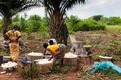 Folk som skördar kassavan royaltyfria bilder
