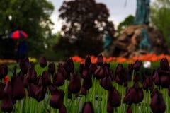 Folk som tycker om tulpan på skärm i Washington Park Albany NY på en regnig eftermiddag i vår Fotografering för Bildbyråer