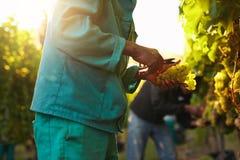 Folk som väljer druvor under vinskörd i vingård royaltyfri fotografi