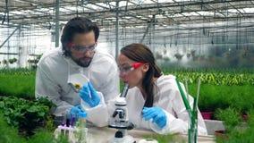 Folket arbetar med ett mikroskop i ett växthus som kontrollerar växter stock video