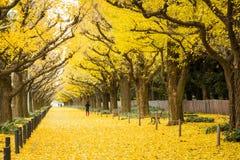 Folket besöker gula ginkgoträd och gula ginkgosidor på Ginkgoavenyn Fotografering för Bildbyråer