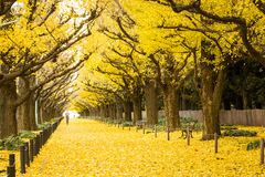 Folket besöker gula ginkgoträd och gula ginkgosidor på Ginkgoavenyn Royaltyfri Foto