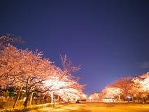 Folket beskådar den körsbärsröda blomningen under konstellationen av Orion, och Oxen på Takarano parkerar på gryning i Tokyo Royaltyfria Foton