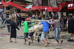 Folket på Toraja begravnings- ceremoni och griskött offrar Royaltyfri Foto
