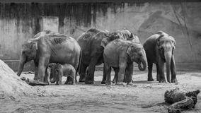 Folkhop av asiatiska elefanter som grå tjock hud behandla som ett barn elefanten svärtar in, Arkivfoton