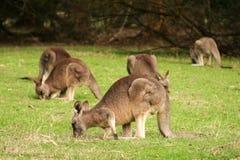 Folkhop av kängurur Royaltyfria Foton