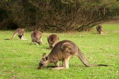 Folkhop av kängurur Arkivfoton