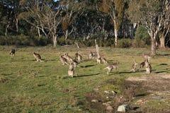 Folkhop av kängurur royaltyfria bilder