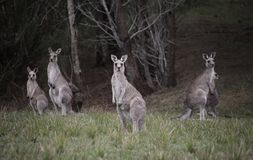 Folkhop av kängurur i bushland arkivfoto