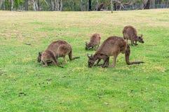 Folkhop av kängurur, vallaby som betar på det gröna gräset arkivbild