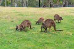 Folkhop av kängurur, vallaby som betar på det gröna gräset royaltyfri fotografi