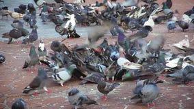 Folkmassa av fåglar som slåss för foods, skott för tidschackningsperiod arkivfilmer