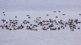 Folkmassa av vattenfågeln Arkivfoto