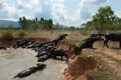 Folkvänd till buffeln arkivfoton