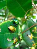 Folla degli scarabei su un foglio Fotografia Stock