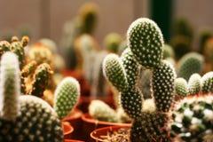 Folla del cactus Immagine Stock
