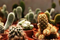 Folla del cactus Fotografia Stock Libera da Diritti