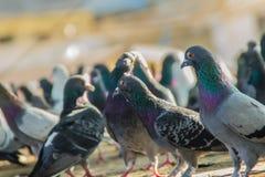 Folla del piccione sulla via di camminata a Bangkok, Tailandia Il gruppo vago di piccioni combatte più per alimento, molti lotta  fotografia stock libera da diritti