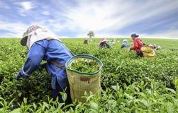 Folla della foglia di tè di raccolto della raccoglitrice del tè Fotografia Stock